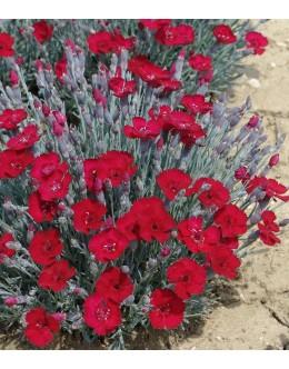 Dianthus gratianopolitanus 'Rubin' - nageljček, enostaven cvet
