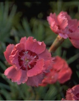 Dianthus gratianopolitanus 'Rotcappchen' - nageljček, vrstnat