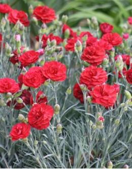Dianthus hybridus 'Hidcote ' - živo rdeč polnjen cvet, pocvita
