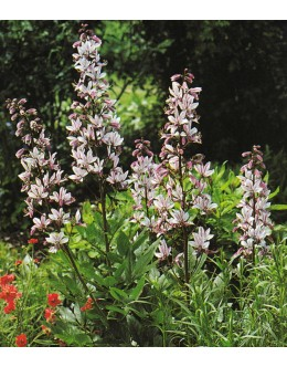 Dictamnus albus - navadni jesenček