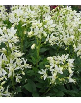 Dictamnus albus 'Albiflora' - navadni jesenček bele barve