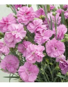 Dianthus hybridus 'Anka' - zelo dišeč, poln cvet, pocvita, trpežen