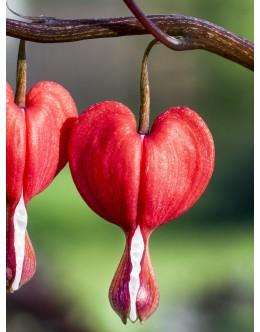 Dicentra spectabilis 'Valentine' - rdeči srčki (velik lonec)