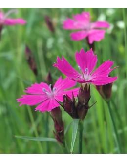 Dianthus carthusianorum - kartavžar, navadni klinček, suhi travniki
