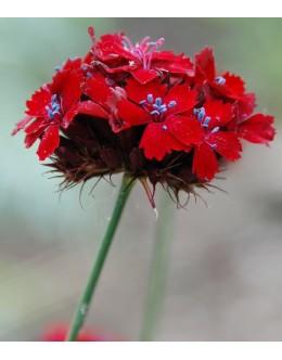 Dianthus cruentus - krvavo rdeči klinček (primorje)
