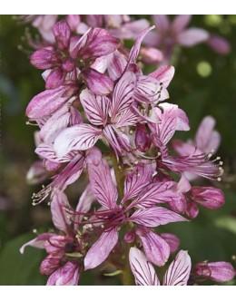 Dictamnus albus 'Rosea' - navadni jesenček, temno roza cvet