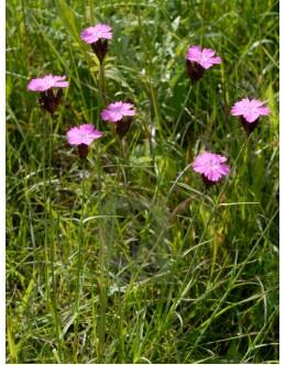 Dianthus sylvestris – divji klinček, suhi travniki