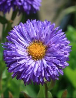 Erigeron speciosus 'Azurfee' - sivkino modra suholetnica, dvojni cvet