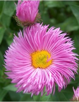 Erigeron speciosus 'Rosa Juwel' - roza suholetnica