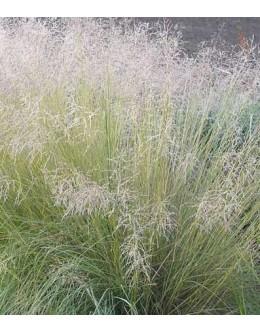 Eragrostis curvula - kosmatka