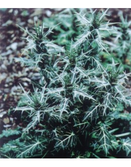 Eryngium variifolium - pisanolistna možina