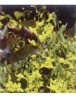 Epimedium perralchicum 'Frohnleiten' - velik cvet, zimzelen, močne rasti