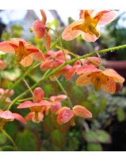 Epimedium pubigerum 'Orange Konigin' - krem oranžen cvet, zimzelen