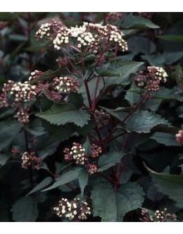 Eupatorium rugosum 'Chocolate' - rdečelistna konjska griva