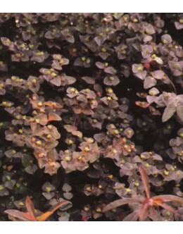 Euphorbia dulcis 'Chameleon' - rdečelistni mleček