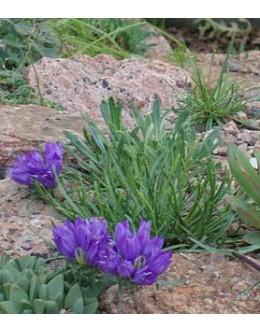 Edraianthus tenuifolius – tankolistna vrčica