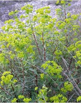 Euphorbia nicaensis - gladki mleček