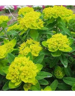 Euphorbia polychroma - mnogobarvni mleček