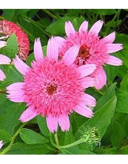 Echinacea purpurea 'Pink Double Delight' - rožnati polni ameriški slamnik
