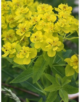 Euphorbia palustris - močvirski mleček