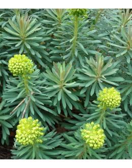 Euphorbia wulfenii (veneta) - wulfenov mleček (zimska zaščita)