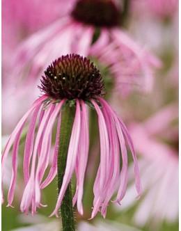 Echinacea palida - bledi ameriški slamnik