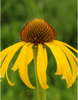 Echinacea paradoxa - ozki rumeni cvetni listi