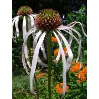 Echinacea palida 'Hula Dancer'- bledi ameriški slamnik