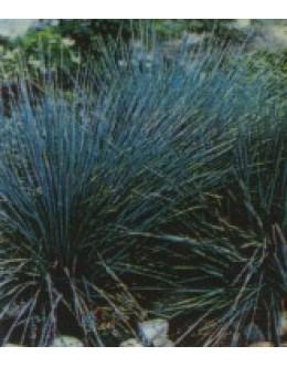 Festuca glauca (cinerea) - siva biljnica