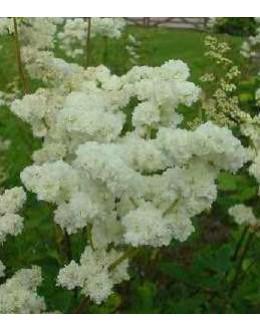 Filipendula vulgaris 'Flore Plena' - navadni oslad, polni cvet