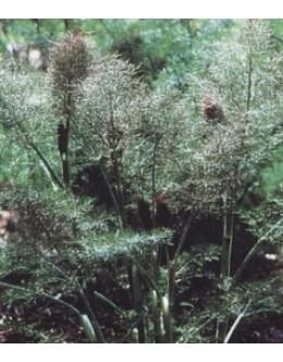 Foeniculum vulgare 'Purpureum' - rdečelistni navadni komarček, koromač