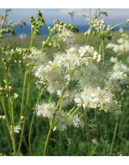 Filipendula vulgaris - navadni oslad, suhi travniki
