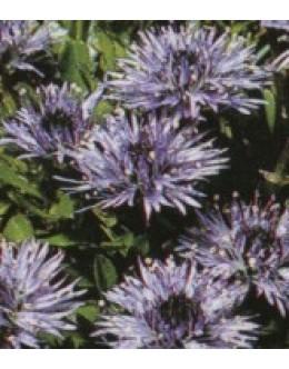 Globularia cordifolia - srčastolistna mračica