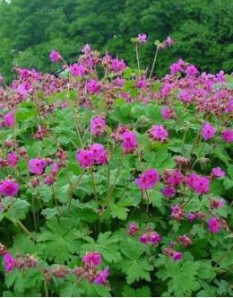 Geranium macrorrhyzum - pokrovna, dišeča, korenikasta krvomočnica