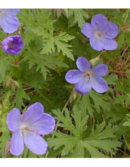 Geranium himalayense 'Johnson's Blue'-modra krvomočnica