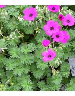 Geranium cinereum 'Splendens' - nizka krvomočnica