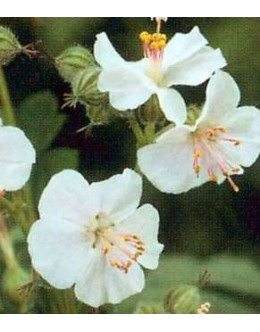 Geranium cantabrigiense 'Biokovo -bela krvomočnica