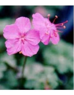 Geranium cantabrigiense 'Karmina' - krvomočnica