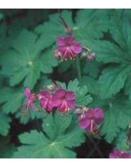 Geranium macrorrhyzum 'Czacor' - dišeča, pokrovna krvomočnica