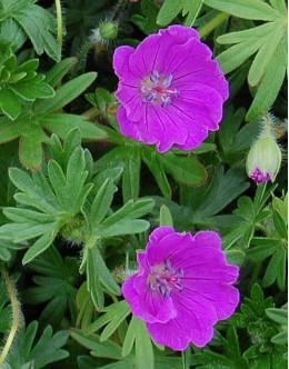 Geranium sanguineum (vision violet) - pokrovna krvomočnica