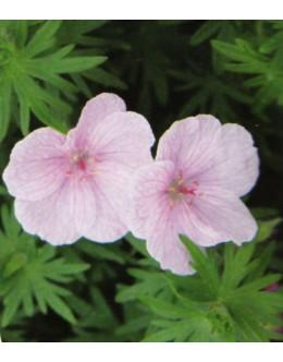 Geranium sanguineum 'Vision Hellrosa' - pokrovna krvomočnica