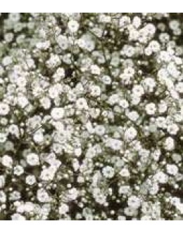 Gypsophilla paniculata 'Festival White' - bela meglica