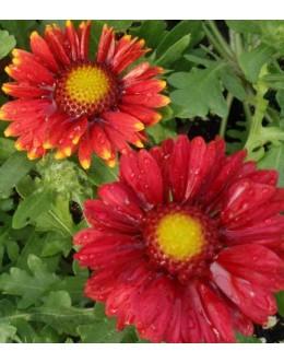 Gaillardia aristata 'Arizona Red Shades' - gailardija