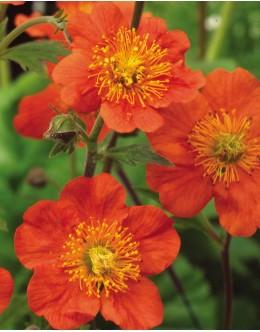 Geum coccineum 'Tango' - oranžna sretena, pocvita