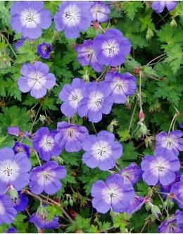 Geranium 'Rozanne' - zelo močne rasti in dolgo cveti