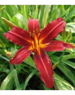 Hemerocallis 'Crymson Pirate' - zvezdasta maslenica