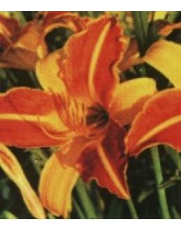 Hemerocallis 'Frans Halls' - dvobarvna pozna maslenica