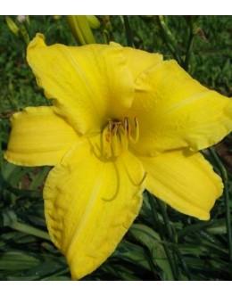 Hemerocallis 'Golden Song' - velikocvetna maslenica