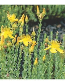 Hypericum polyphyllum - krčnica