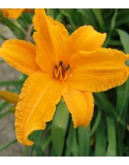 Hemerocallis 'Burning Daylight' - velikocvetna maslenica